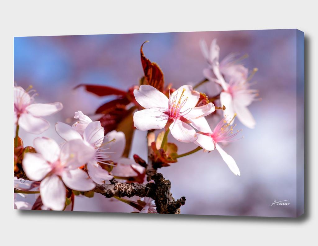 Sakura In Bloom