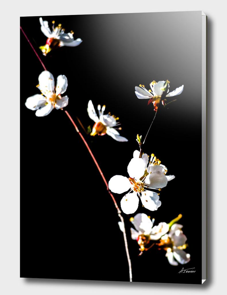 Japanese Apricot Flowers