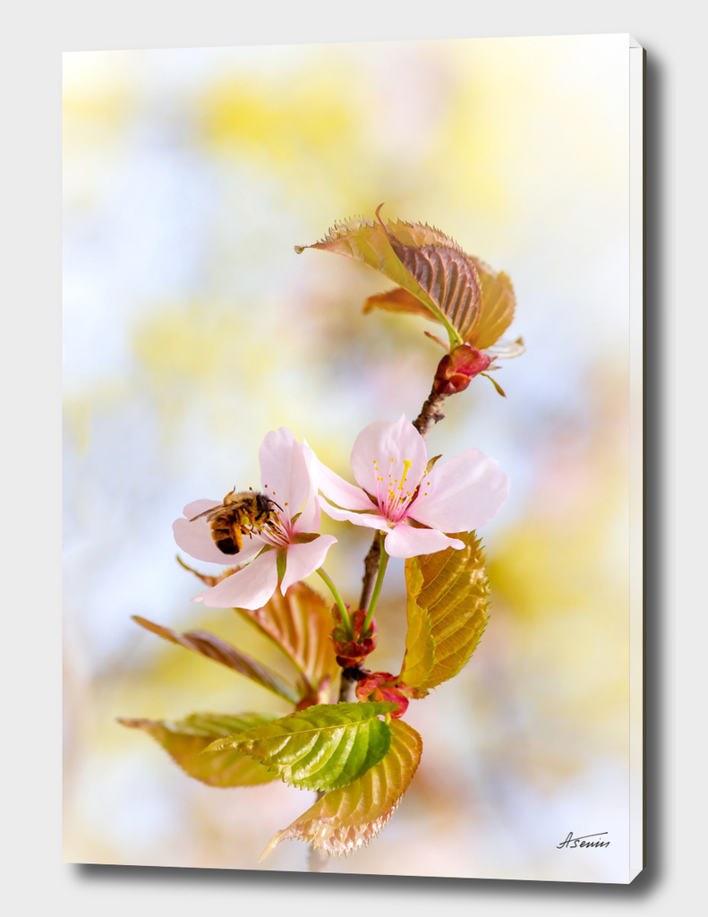 Bee On A Cherry Flower