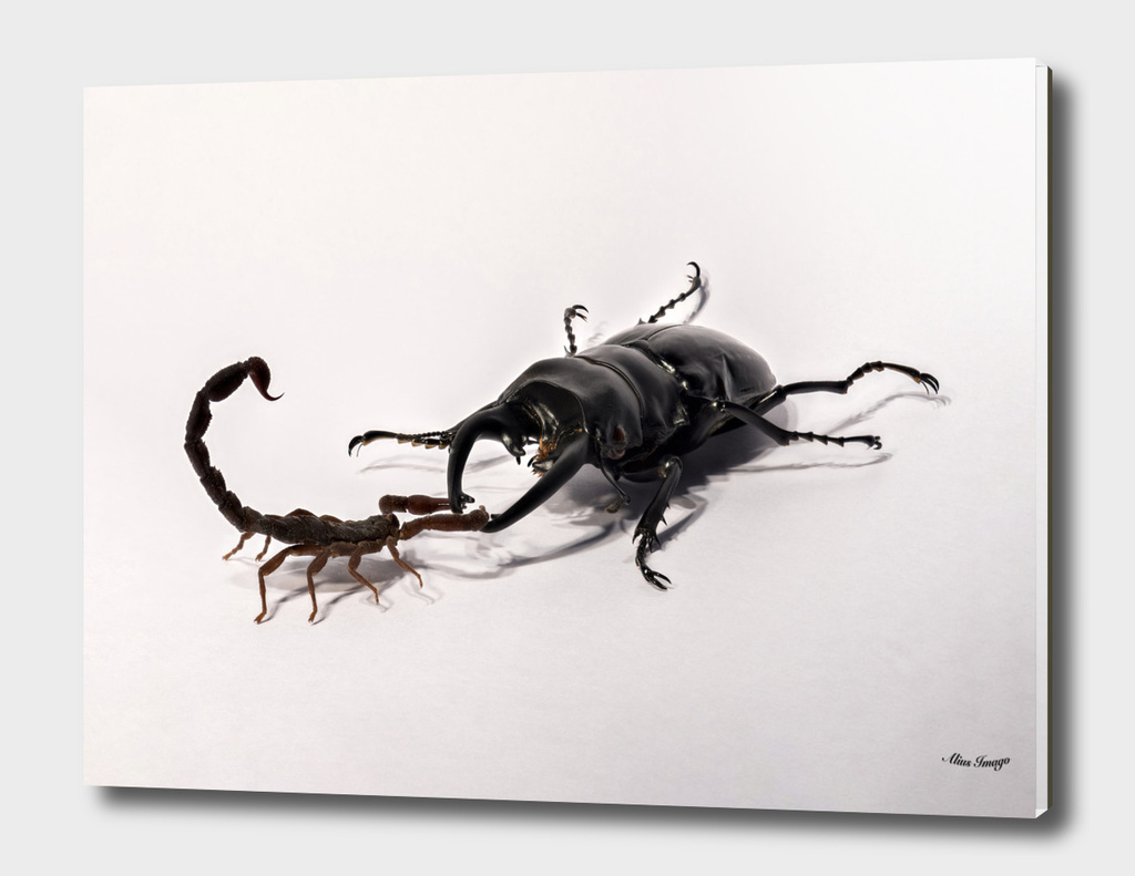 Scorpion Vs. Stag-Beetle