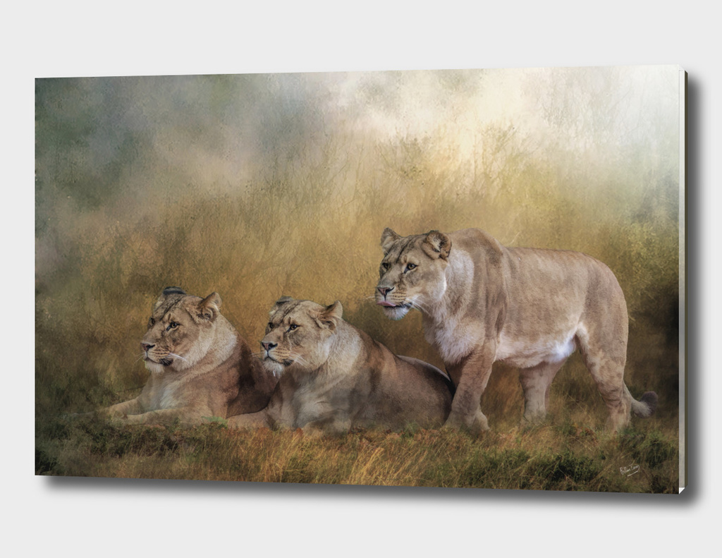 Lionesses watching the herd