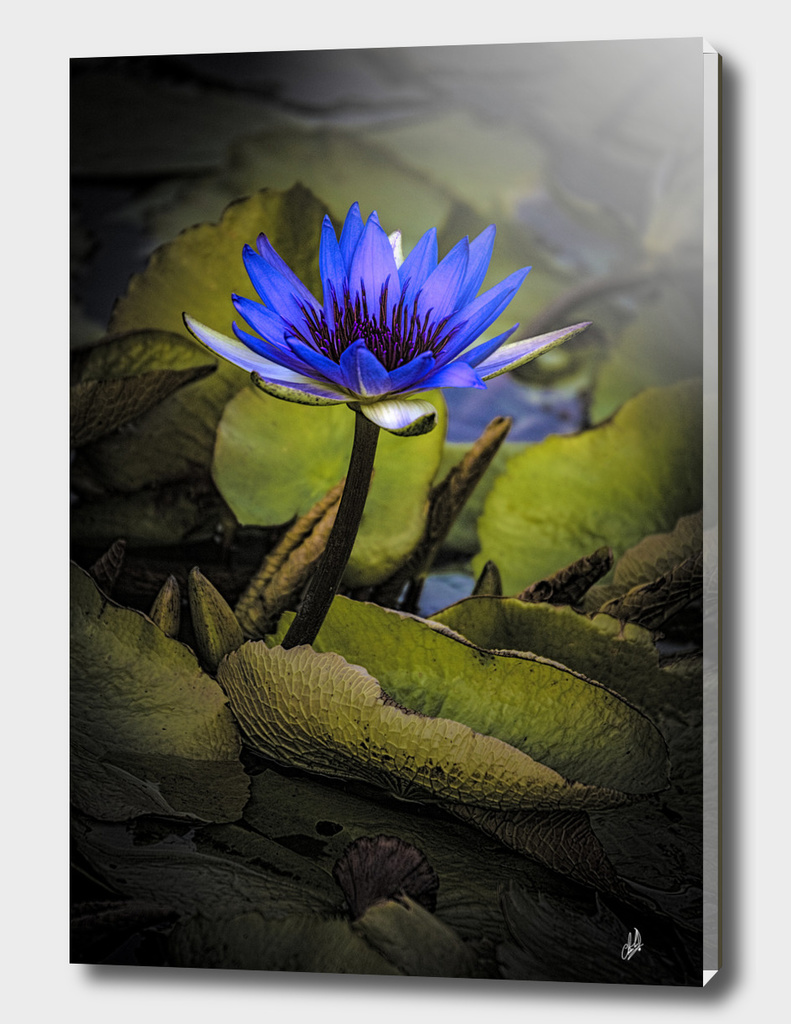 The Last Water Lily