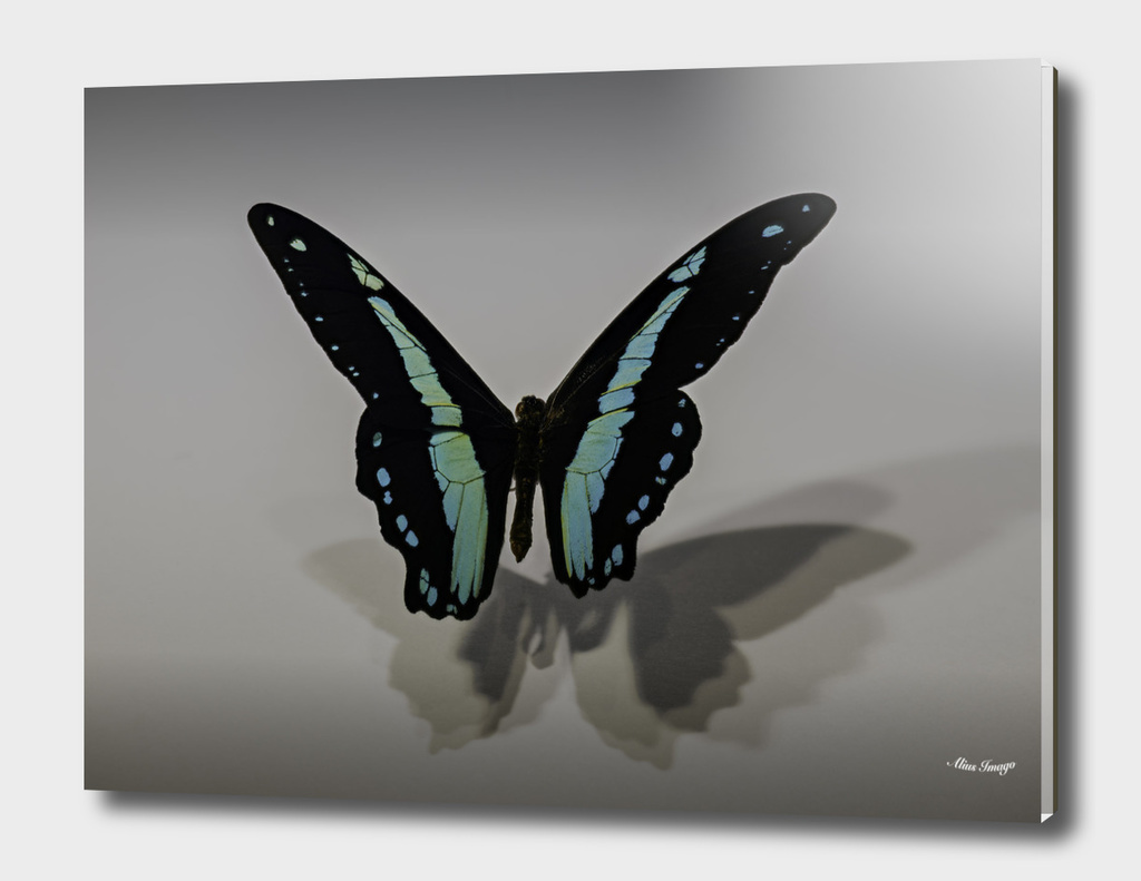 African Blue-Banded Swallowtail Butterfly on WIng