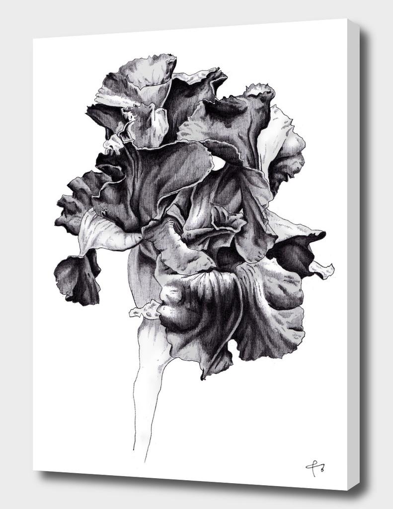 Black Iris Sambuca