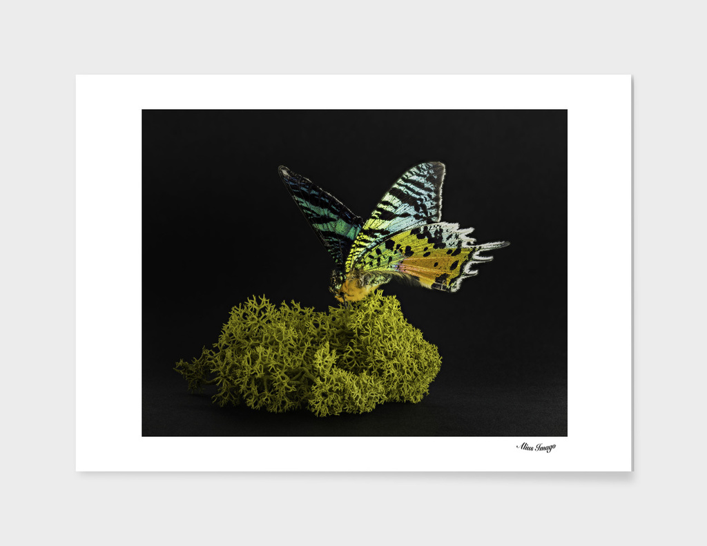 Madagascan Sunset Moth isolated on Moss
