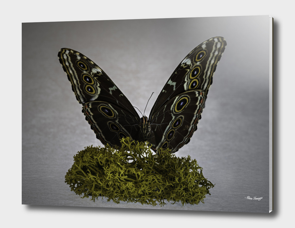 Columbian Blue Butterfly isolated on Moss (FV)