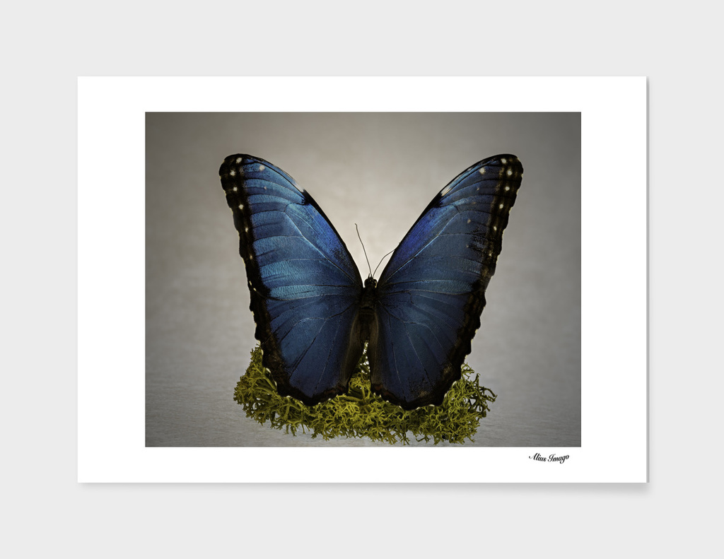 Columbian Blue Butterfly isolated on Moss (RV)