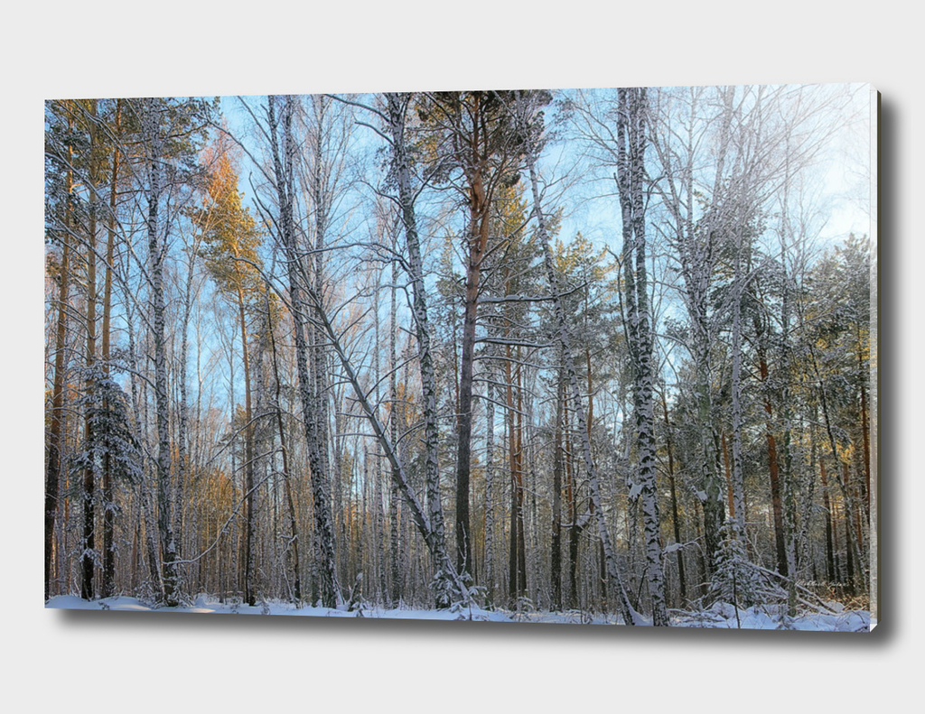 The sun in the winter forest