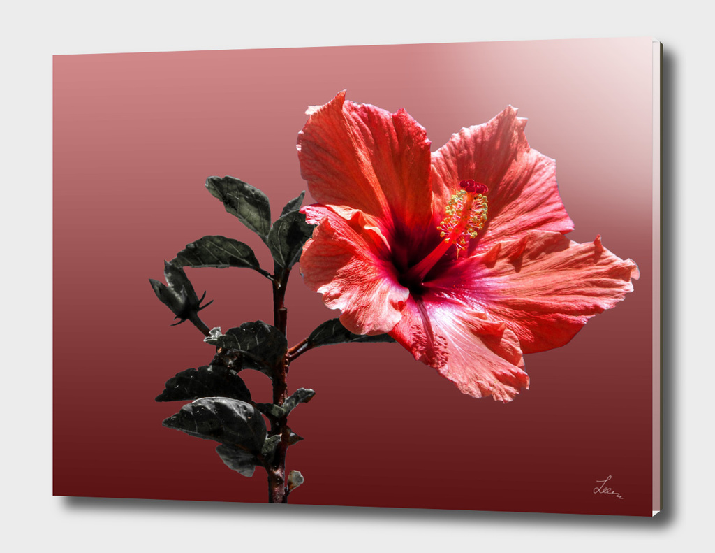 red hibiscus on vinous
