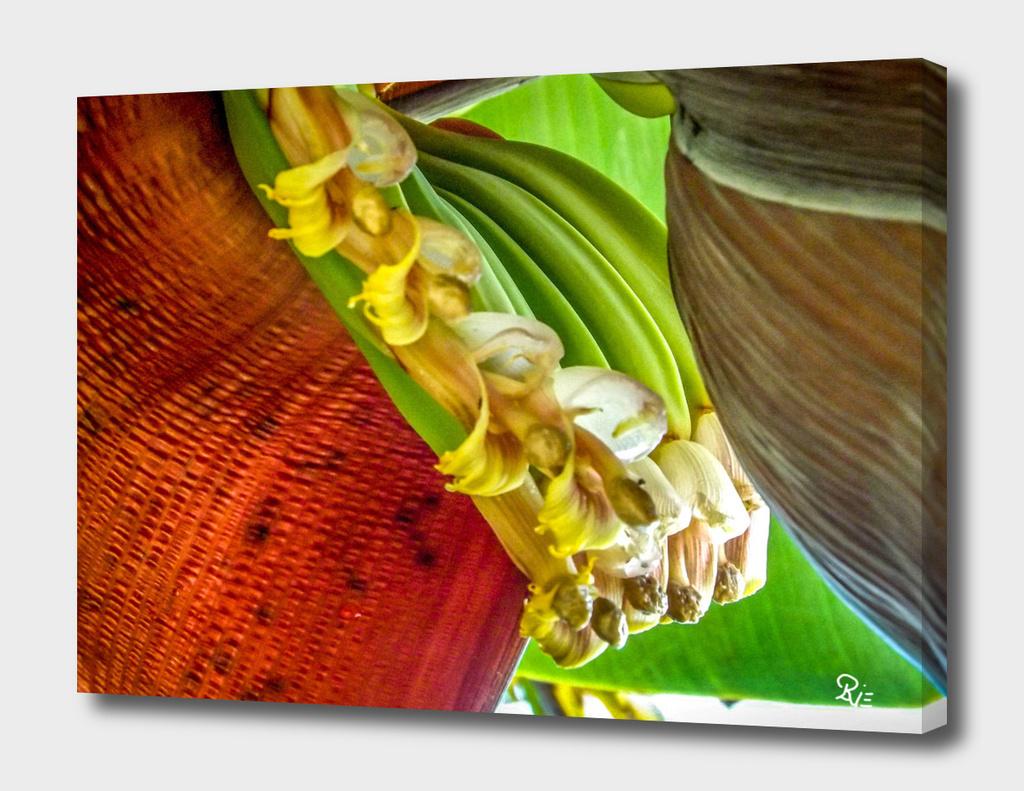 Bananis 4