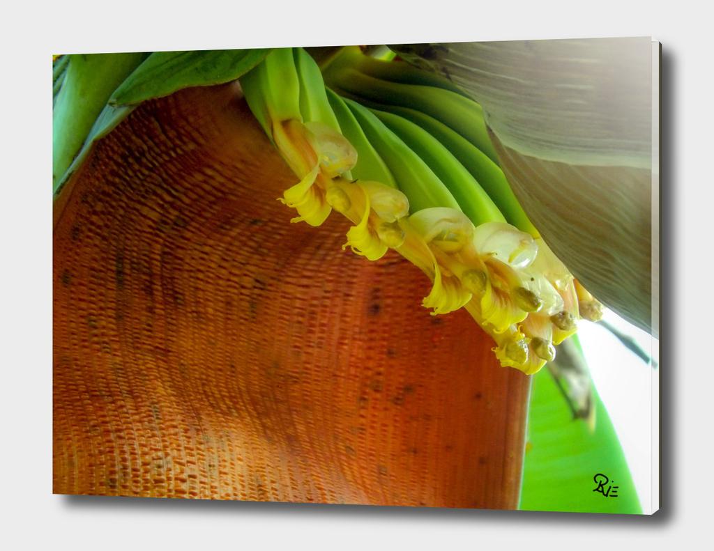 Bananis 11