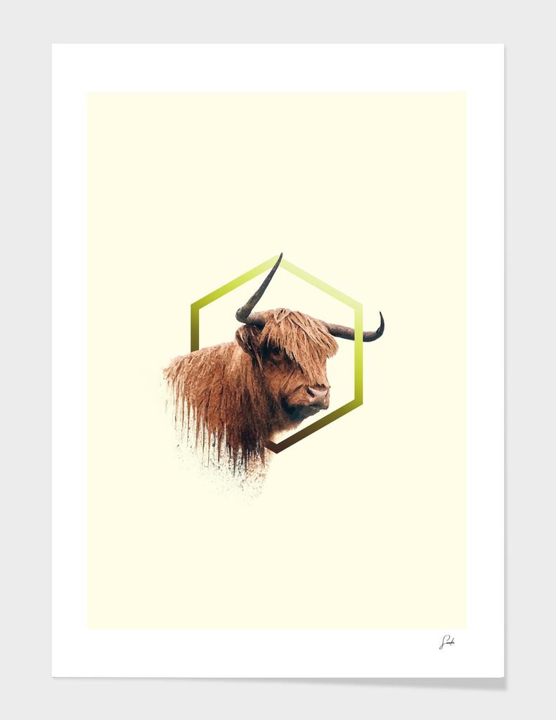 higland cattle