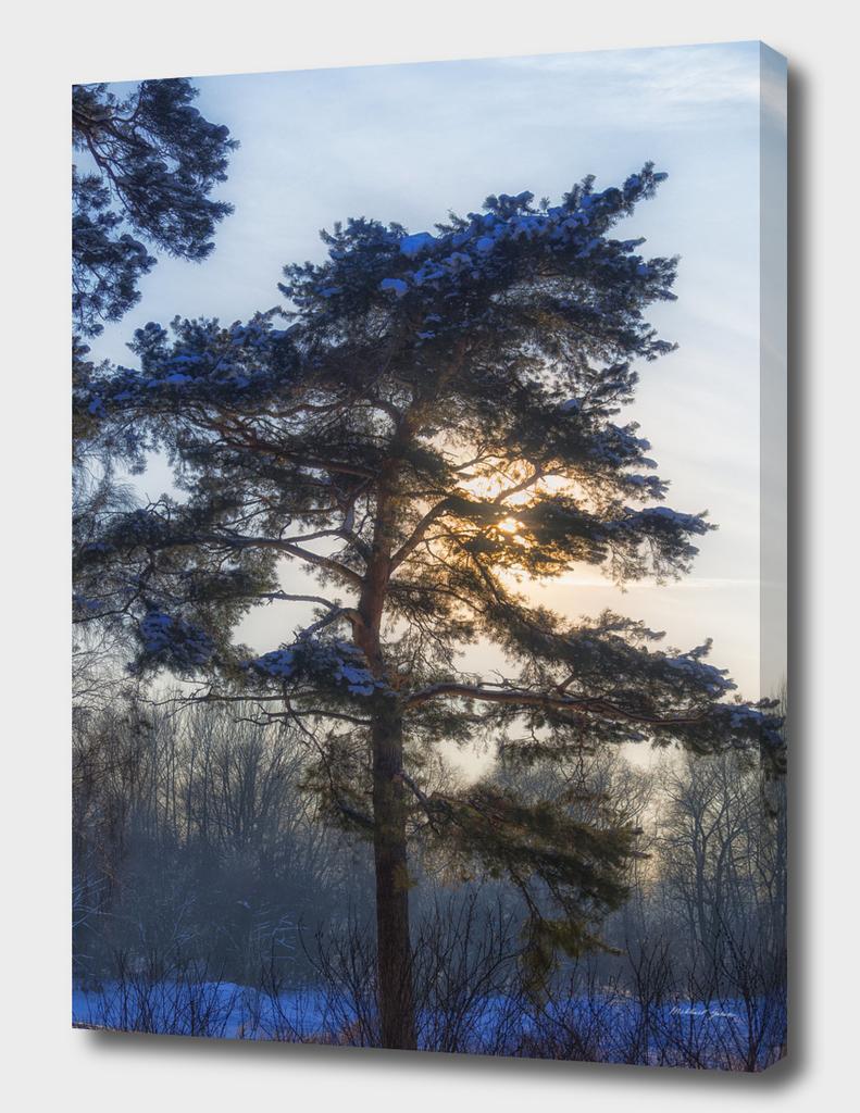 Winter. Pine. Dance.
