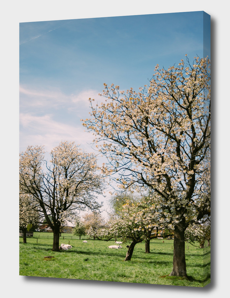 Blooming Spring Pasture