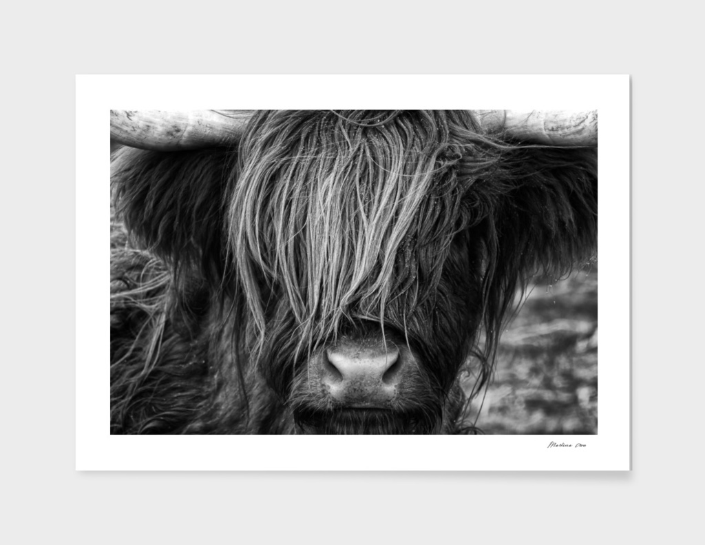 Scottish Highland Cow - Scotland