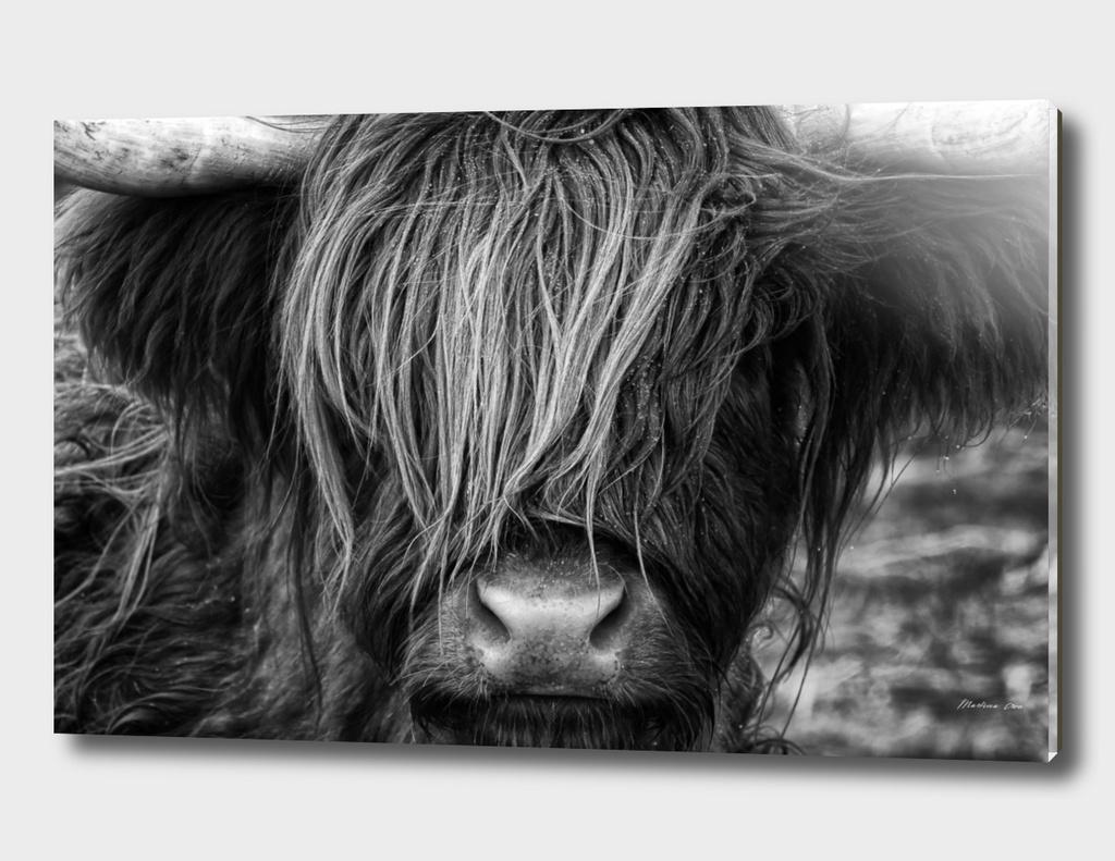 Scottish Highland Cow - Scotland