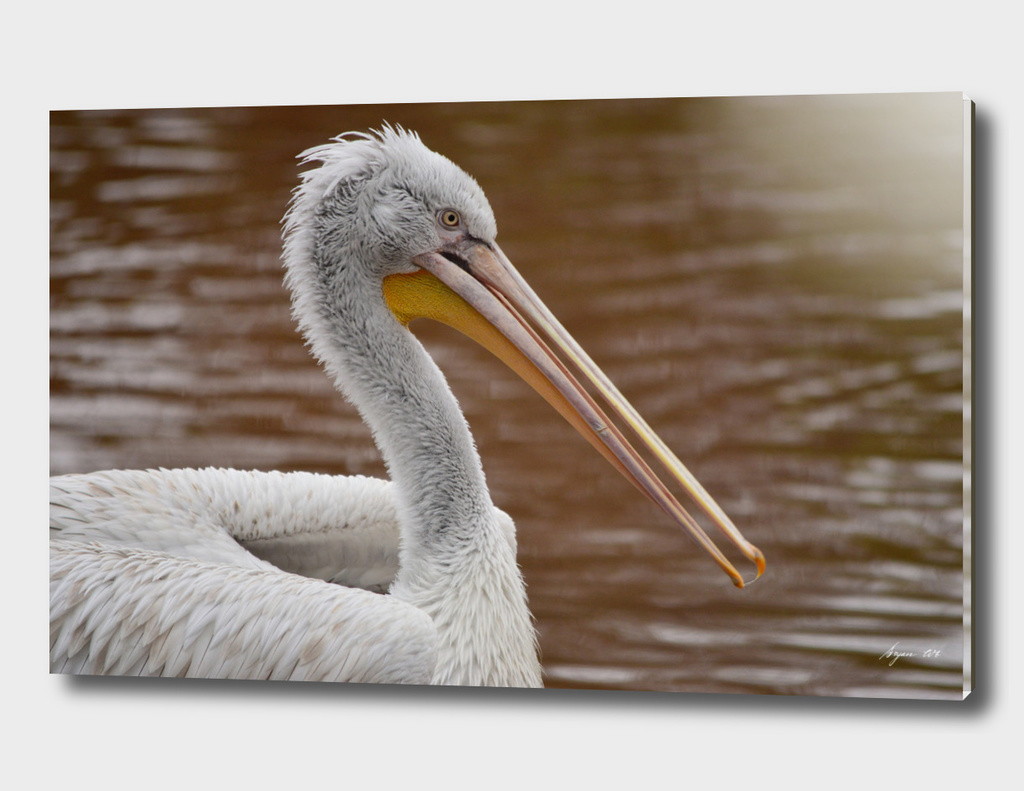 Pelican Portrait - Pelecanus