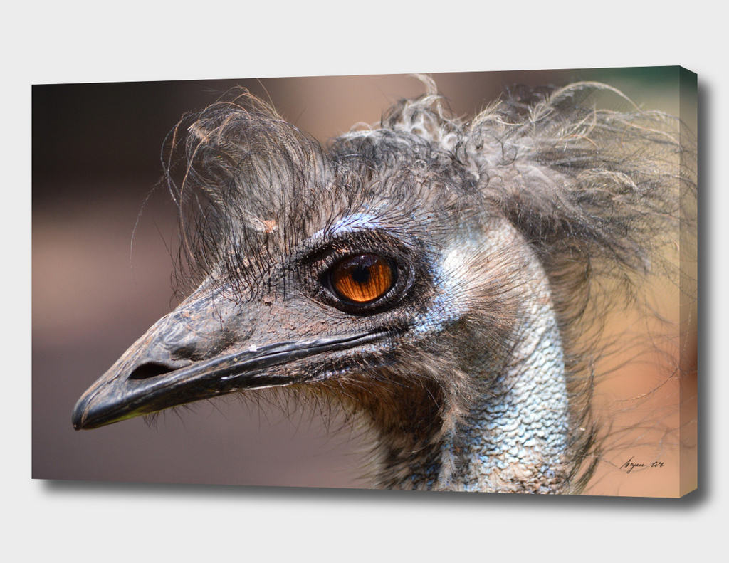 Bad Hair Day! Emu ruffled! - Dromaius novaehollandiae