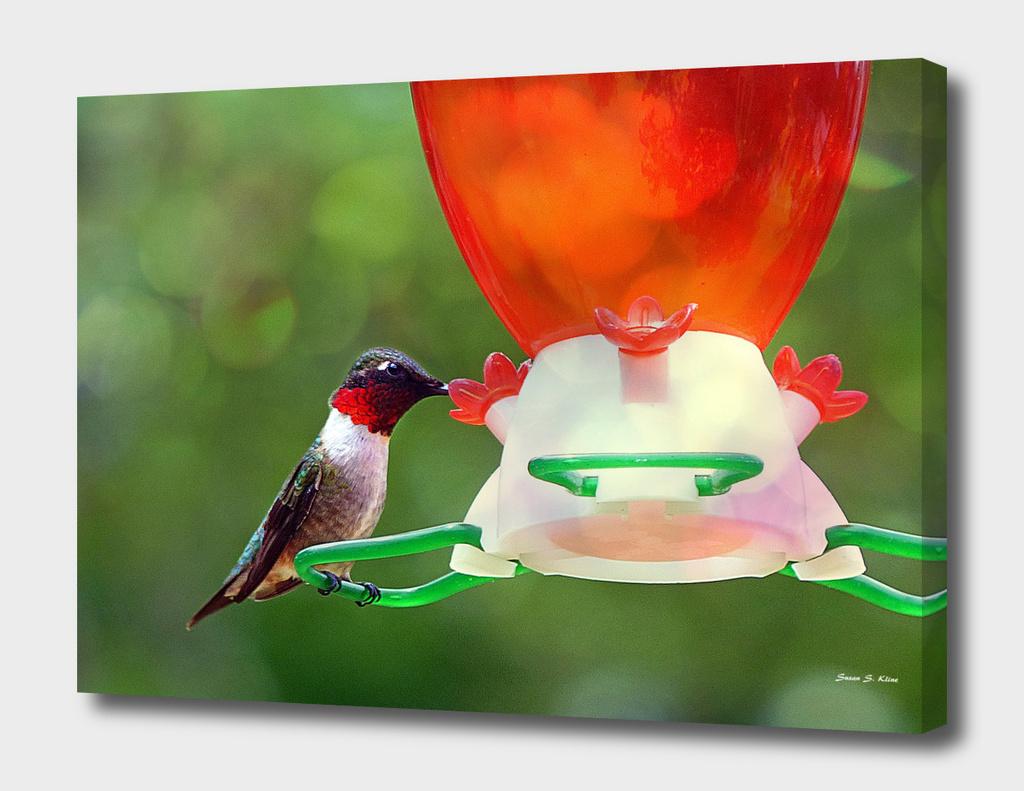 A Ruby Throated Hummingbird