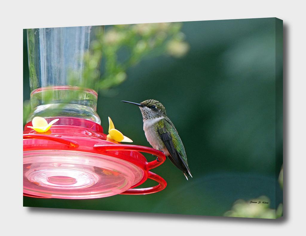 Perched Hummingbird