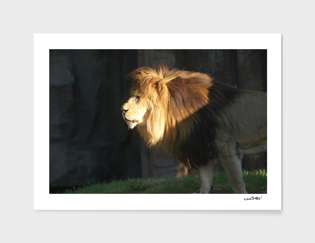 Lion On Patrol 0190