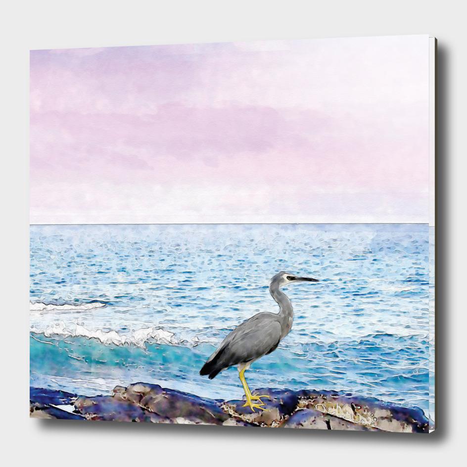 White-faced heron (Henry)