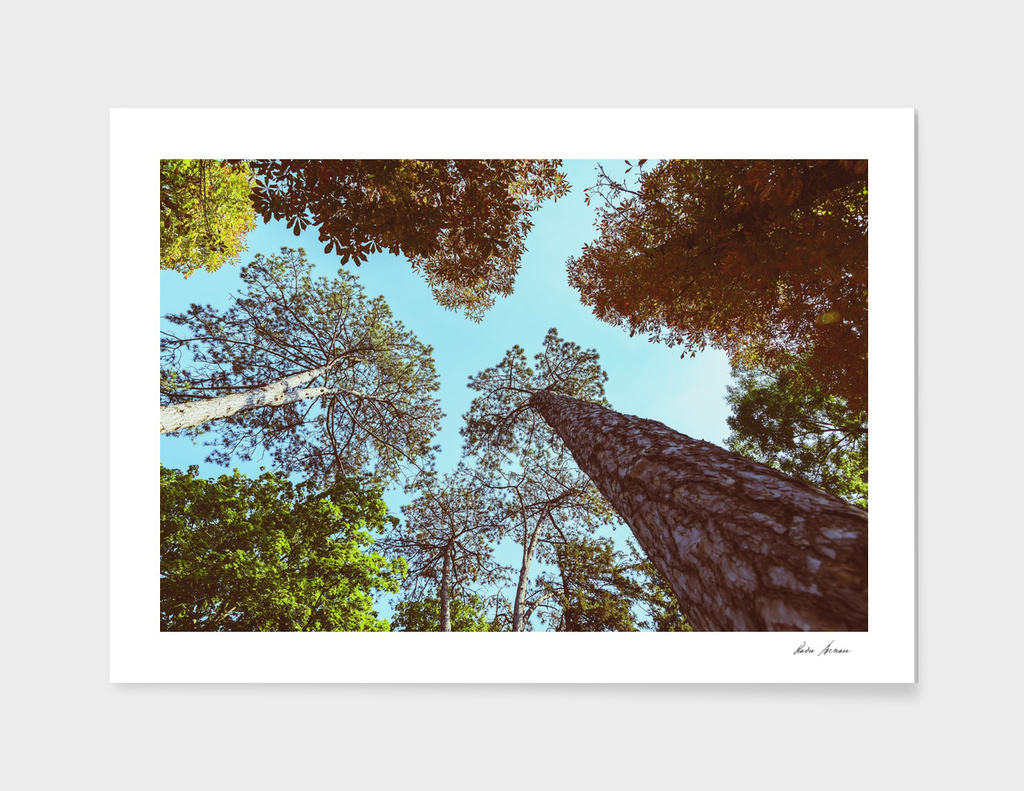 Forest Trees On Blue Sky
