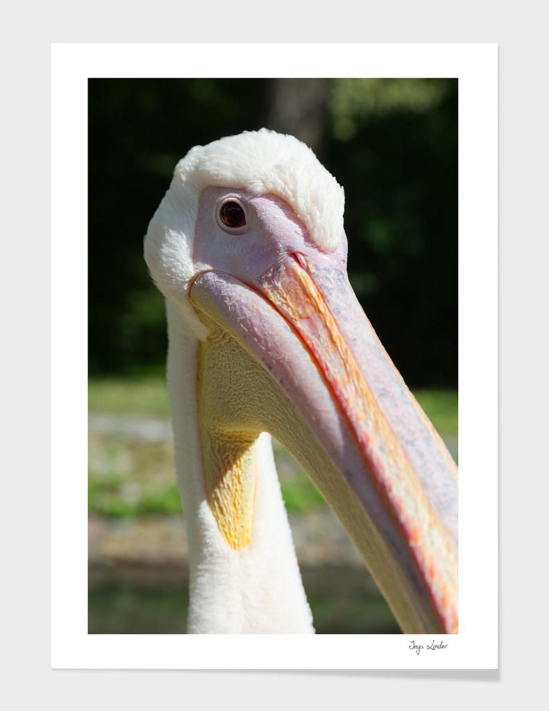 Funny pelican head close up