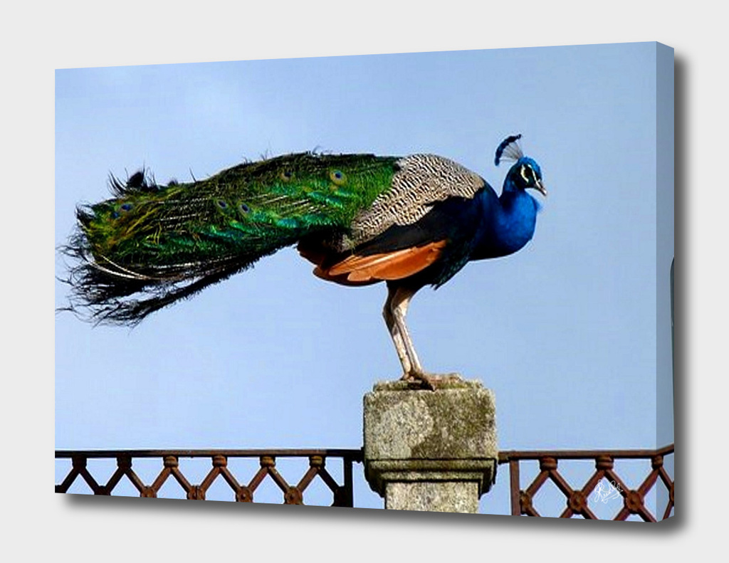 PEACOCK BIRD SITTING ON A PILLAR POST