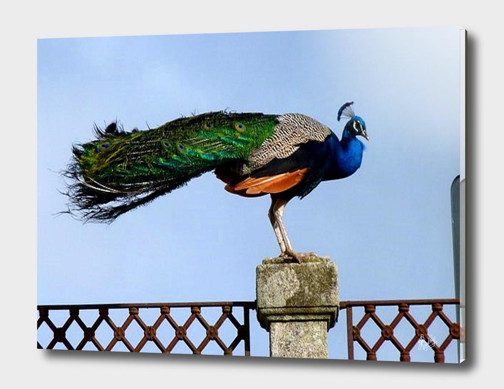 PEACOCK BIRD SITTING ON A PILLAR POST