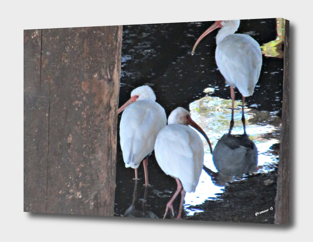 Ibises Under A Bridge
