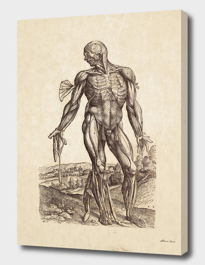 Renaissance anatomic pannel 221