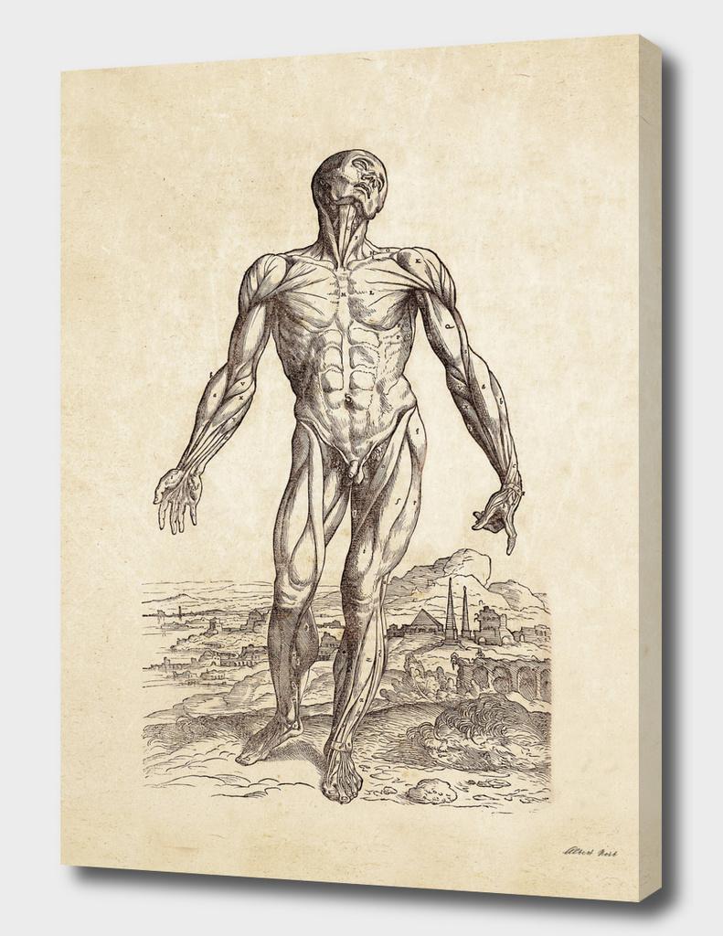 Renaissance anatomic pannel 210