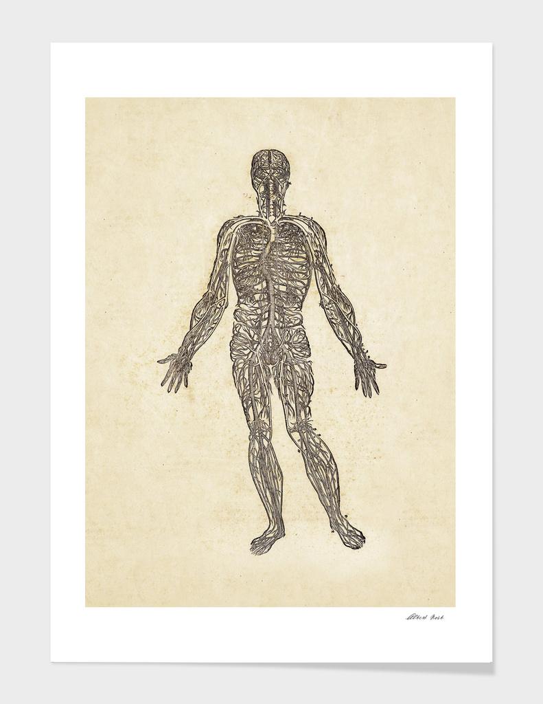 Renaissance anatomic pannel 450