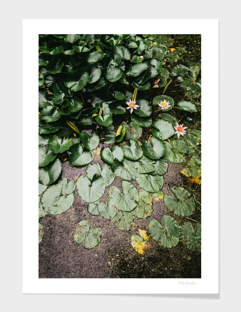 Lily Pads I