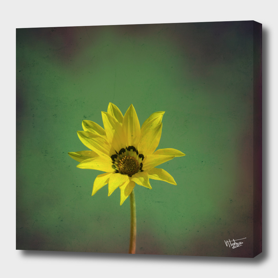 The yellow flower of my old friend