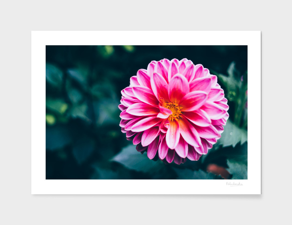 Pink Flower Head