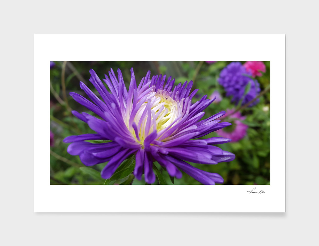 Autumn flowers...Aster