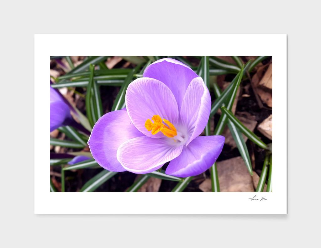 Spring flowers..Crocus