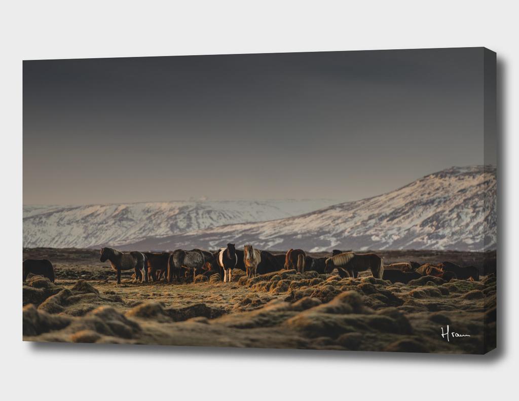 Icelandic Horses I