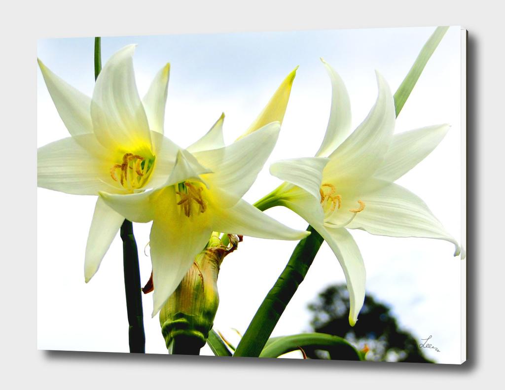 white amarillis