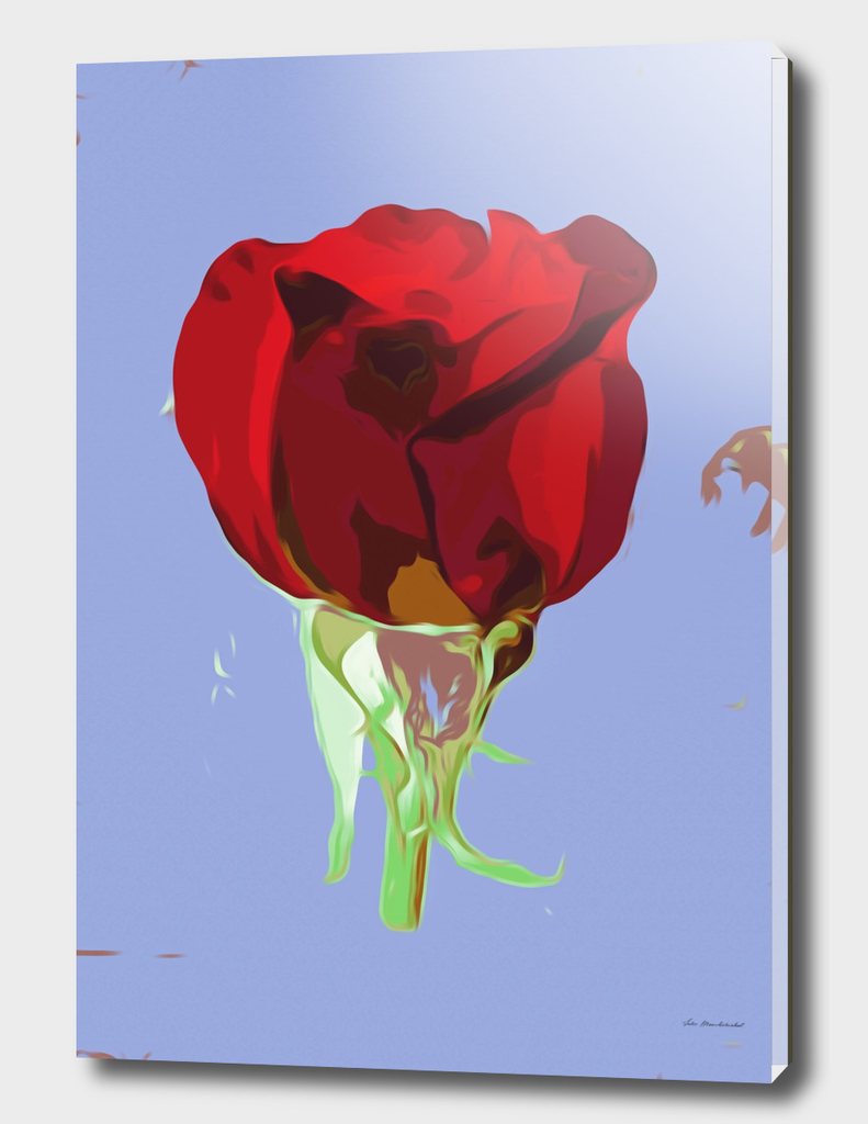 red rose with blue background