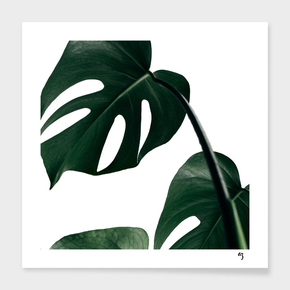 monstera IV