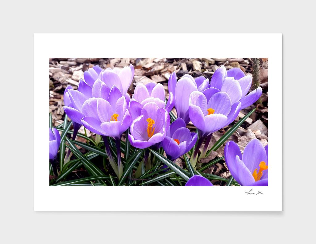 Spring. Crocus