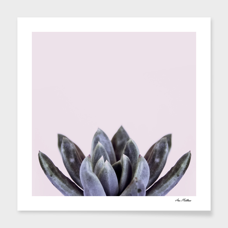 succulent flower blue