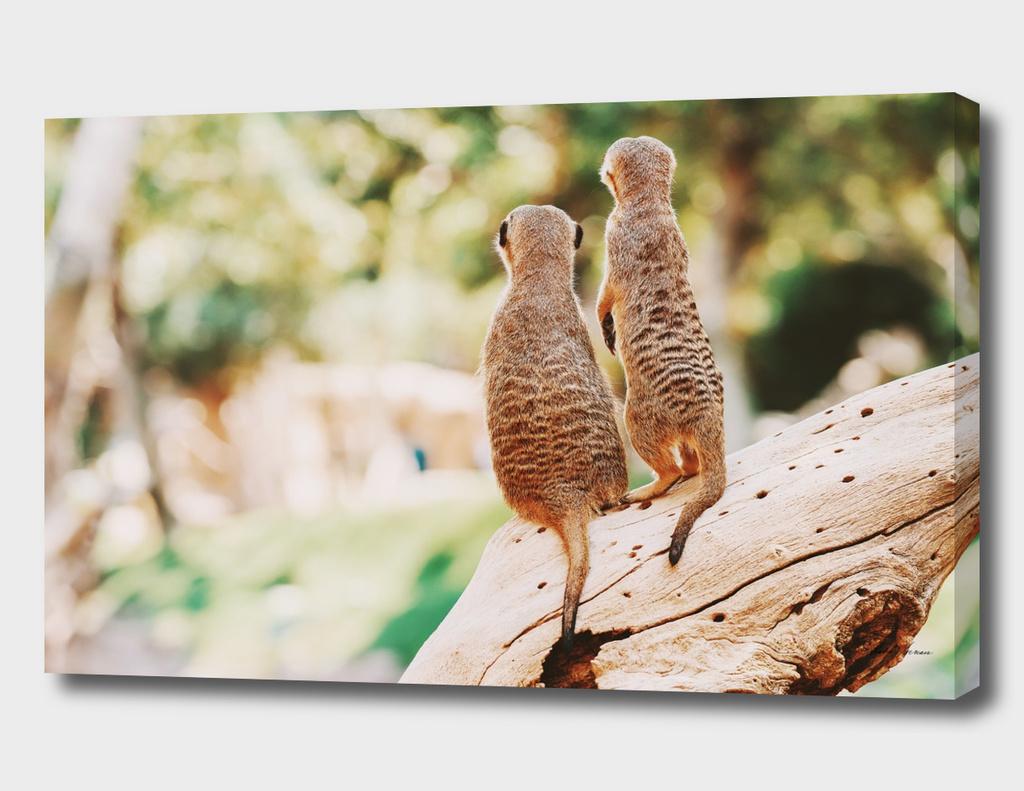 Meerkat or Suricate Couple (Suricata Suricatta) in Africa