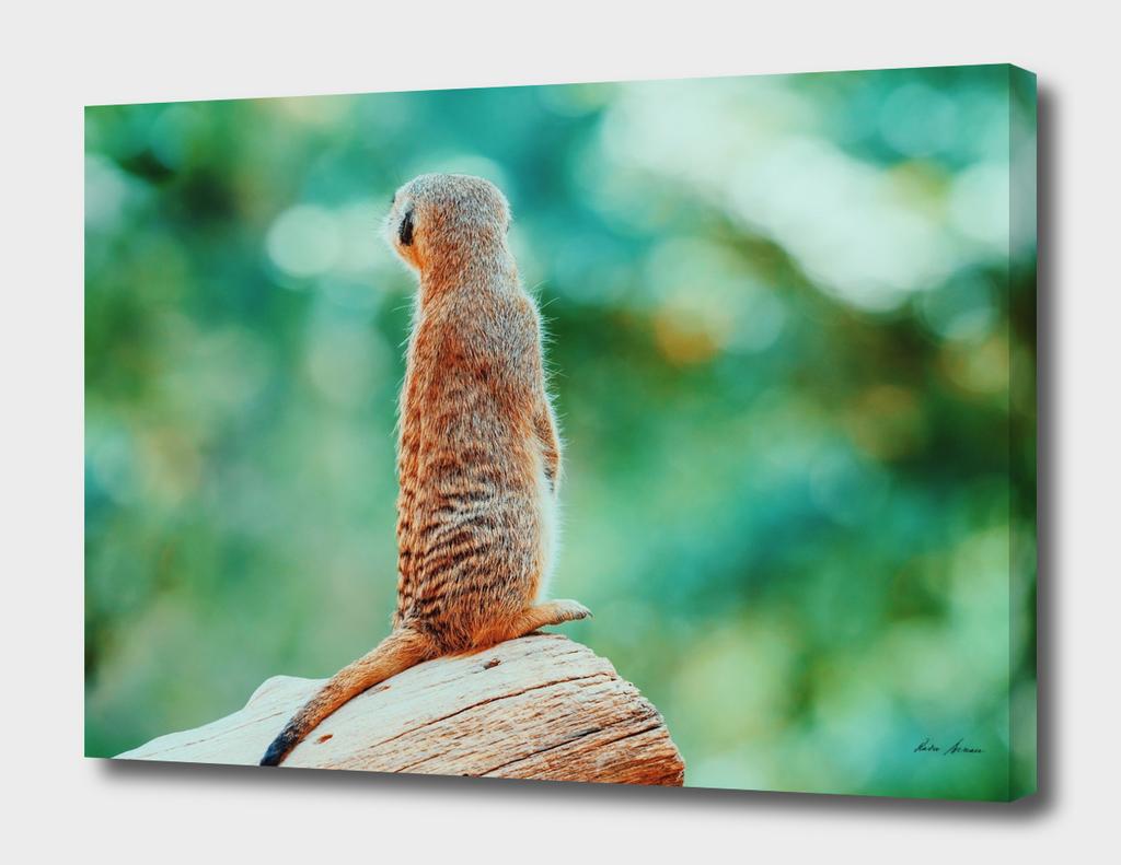Meerkat or Suricate (Suricata Suricatta) in Africa