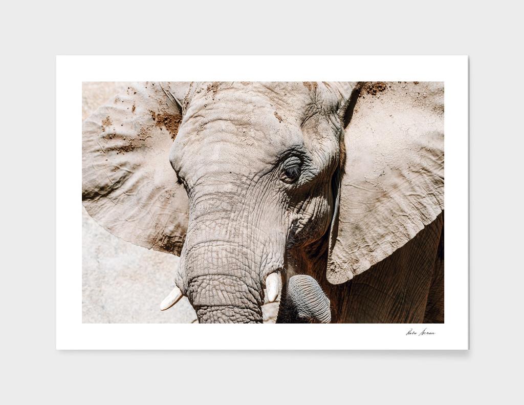 Wild African Elephant Portrait