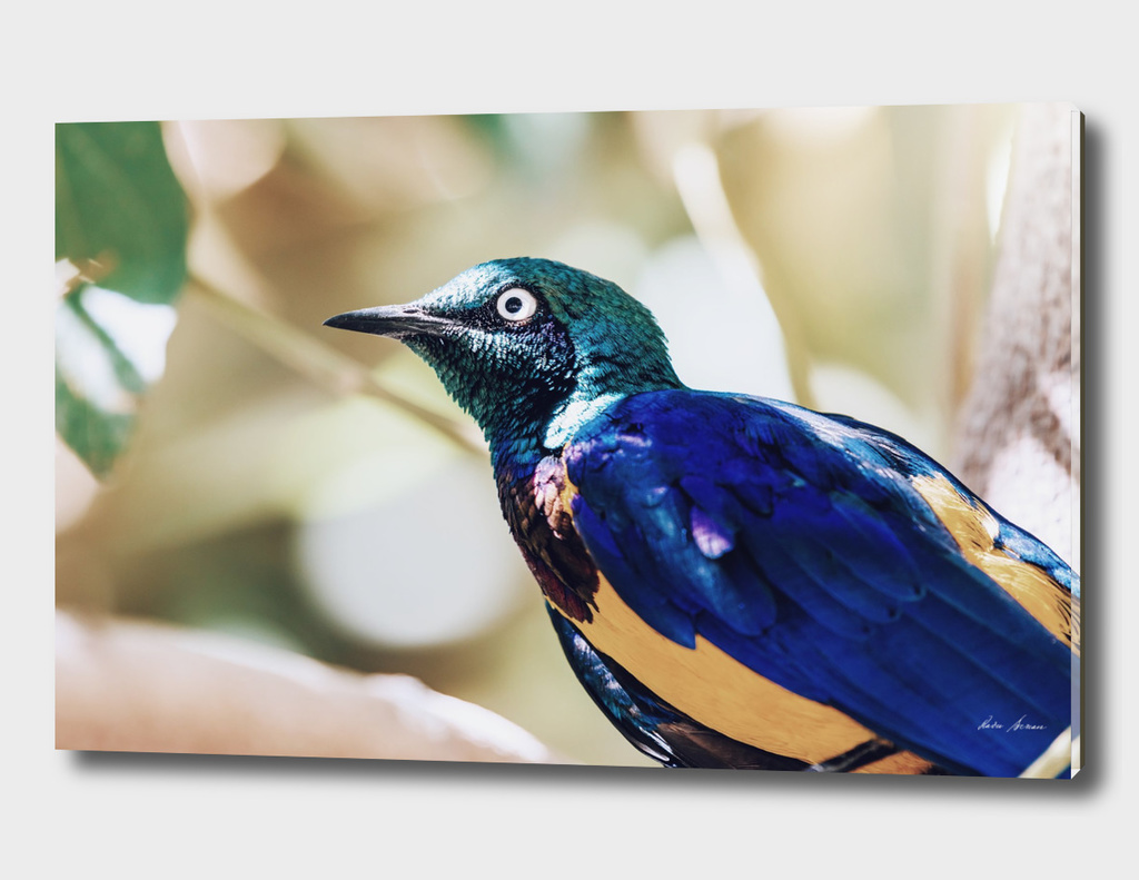Golden Breasted Starling Bird