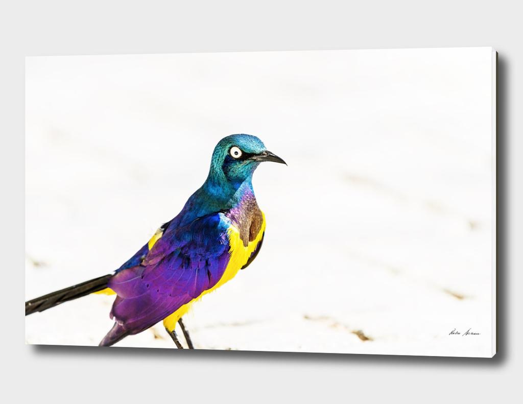 Golden Breasted Starling Bird